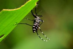 Inseticida de Nim combate mosquito da malária